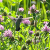 Ruby-throated Hummingbird <br /> Simpson Lake marsh in Valley Park