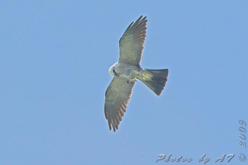 Mississippi Kite <br /> Simpson Lake marsh in Valley Park