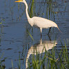 Great Egret  <br /> Simpson Lake marsh in Valley Park