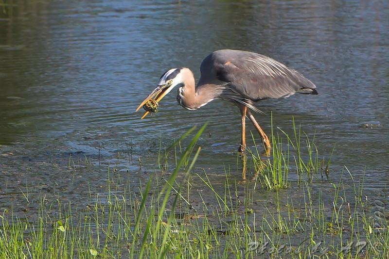 Great Blue Heron <br /> Simpson Lake marsh in Valley Park
