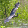 Great Blue Heron <br /> Simpson Lake marsh in Valley Park