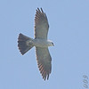 Mississippi Kite <br /> Simpson Lake marsh in Valley Park