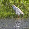 Cattle Egret <br /> Simpson Lake marsh in Valley Park