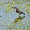 Green Heron <br /> Simpson Lake marsh in Valley Park