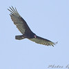 Turkey Vulture <br /> Simpson Lake marsh in Valley Park