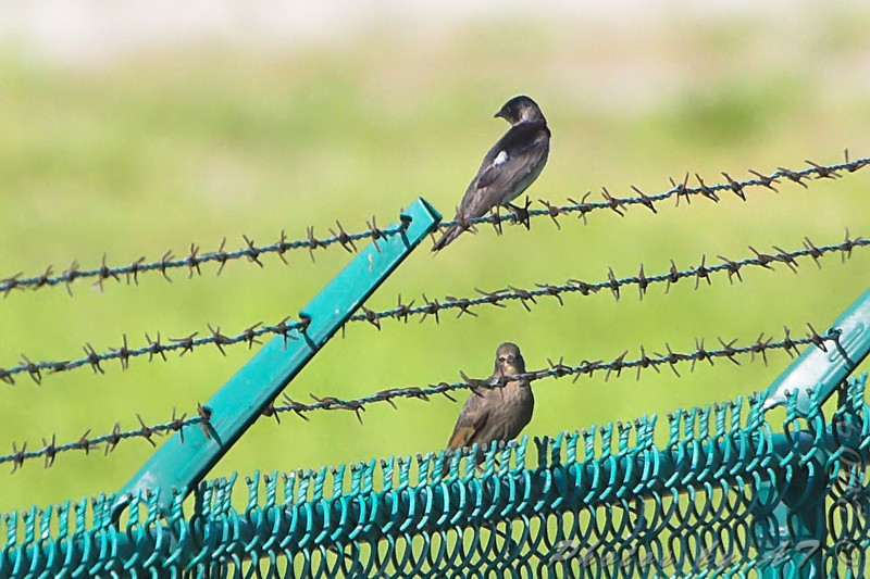 Purple Martins <br /> Simpson Lake marsh in Valley Park
