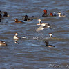 Horned Grebe, Lesser Scaup, Redheads, Ring-necked Duck and Ruddy Duck <br /> Ellis Bay <br /> Riverlands Migratory Bird Sanctuary