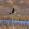 Northern Harrier <br /> Riverlands Migratory Bird Sanctuary