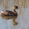 Pied-billed Grebe <br /> Pintail Marsh distribution channel  <br /> Riverlands Migratory Bird Sanctuary