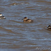Horned Grebe and Ruddy Ducks <br /> Ellis Bay <br /> Riverlands Migratory Bird Sanctuary