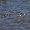 Ruddy Ducks and Horned Grebe <br /> Ellis Bay <br /> Riverlands Migratory Bird Sanctuary