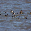 Lesser Scaup, Horned Grebe and Ring-neck Ducks<br /> Ellis Bay <br /> Riverlands Migratory Bird Sanctuary