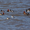 Redhead, Ring-neck Ducks, Horned Grebe, Ruddy Ducks and Lesser Scaup<br /> Ellis Bay <br /> Riverlands Migratory Bird Sanctuary