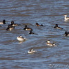 Lesser Scaup, Ring-neck Ducks and Horned Grebe<br /> Ellis Bay <br /> Riverlands Migratory Bird Sanctuary