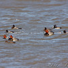 Redhead and Lesser Scaup <br /> Ellis Bay <br /> Riverlands Migratory Bird Sanctuary