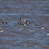 Horned Grebe, Redhead and Lesser Scaup<br /> Ellis Bay <br /> Riverlands Migratory Bird Sanctuary