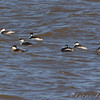 Horned Grebes and Ruddy Ducks <br /> Ellis Bay <br /> Riverlands Migratory Bird Sanctuary