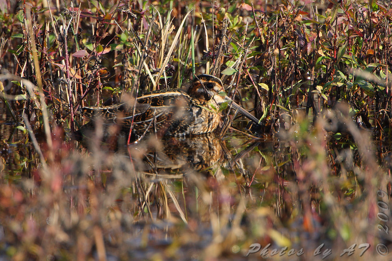 Wilson's Snipe <br /> Wise Road <br /> Riverlands Migratory Bird Sanctuary