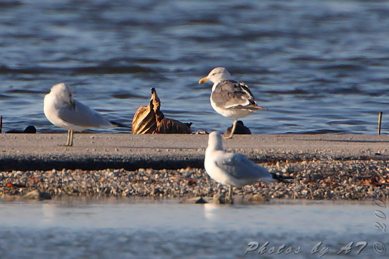 Lesser Black-backed Gull <br /> Horseshoe Lake Ill.