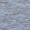 American Wigeon <br /> From observation ramp <br /> Ellis Bay <br /> Riverlands Migratory Bird Sanctuary