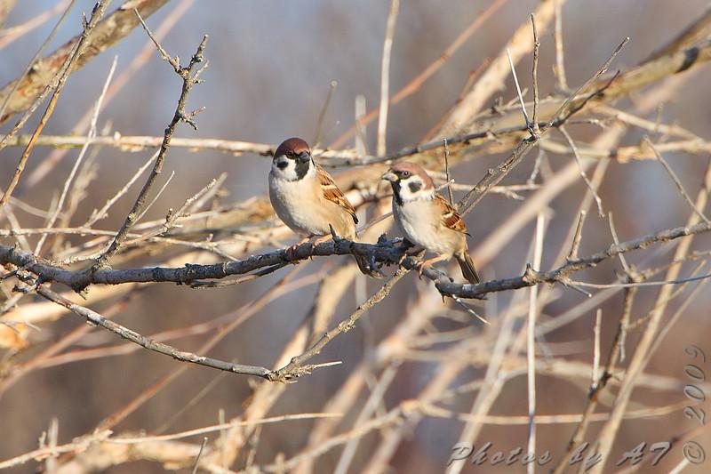 Eurasian Tree Sparrows <br /> From observation ramp <br /> Ellis Bay <br /> Riverlands Migratory Bird Sanctuary