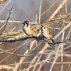Eurasian Tree Sparrows <br /> From observation ramp <br /> Ellis Bay <br /> Riverlands Migratory Bird Sanctuary