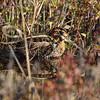 Wilson's Snipe <br /> Wise Road <br /> Riverlands Migratory Bird Sanctuary