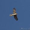 juvenile Cooper's Hawk <br /> Orton Road <br /> Riverlands Migratory Bird Sanctuary