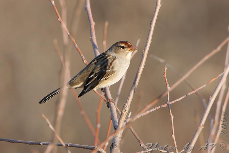 White-crowned Sparrow <br /> From observation ramp <br /> Ellis Bay <br /> Riverlands Migratory Bird Sanctuary