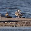 Lesser Black-backed Gull <br /> Horseshoe Lake Ill.