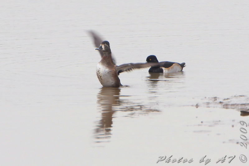 Ring-necked Ducks <br /> Ellis bay <br /> Riverlands Migratory Bird Sanctuary