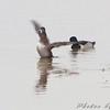 Ring-necked Ducks <br /> Ellis bay <br /> Riverlands Migratory Bird Sanctuary
