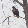 Red-tailed Hawk (Harlan's) <br /> Viewed West side from Fee Fee Road <br /> just South of McDonnell Blvd <br /> Hazelwood