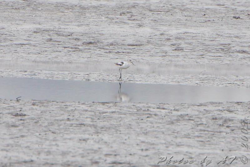 American Avocet <br /> Ellis bay <br /> Riverlands Migratory Bird Sanctuary