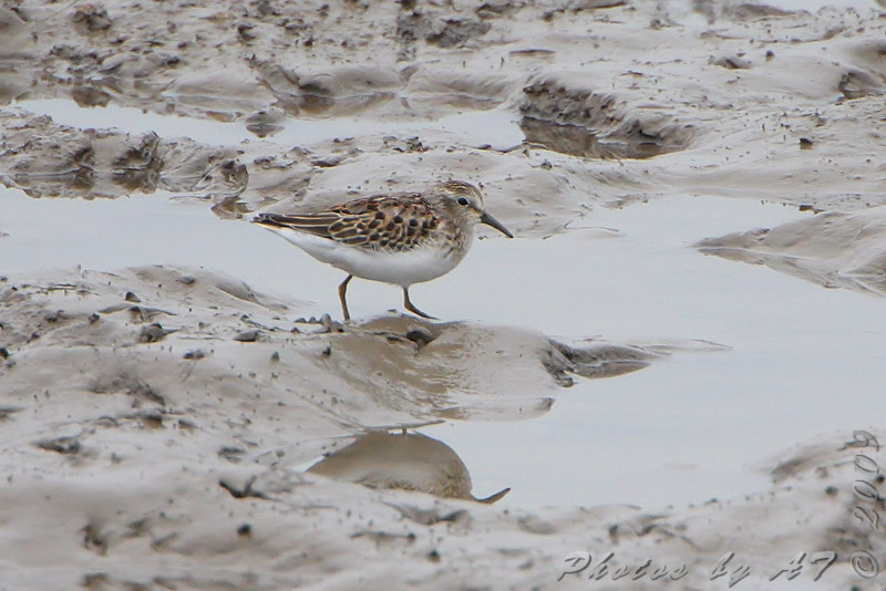 Least Sandpiper <br /> Ellis bay <br /> Riverlands Migratory Bird Sanctuary