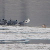 American Avocet and American Coots <br /> Ellis bay <br /> Riverlands Migratory Bird Sanctuary