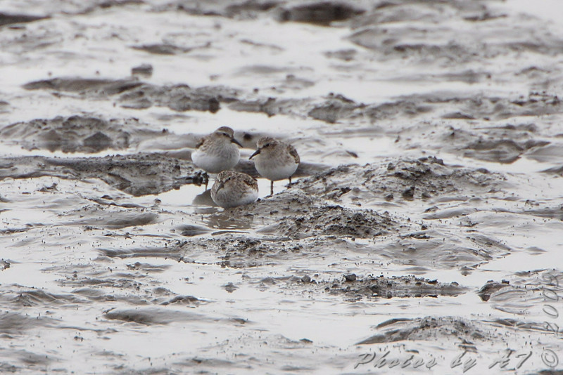 Least Sandpipers <br /> Ellis bay <br /> Riverlands Migratory Bird Sanctuary