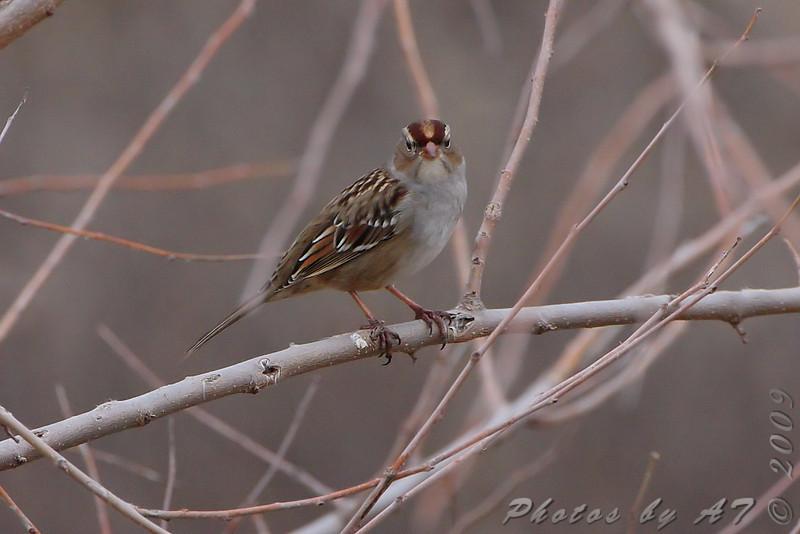 juvenile White-crowned Sparrow <br /> Riverlands Migratory Bird Sanctuary