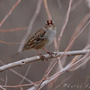 juvenile White-crowned Sparrow <br /> Riverlands Migratory Bird Sanctuary