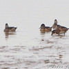 Ring-necked Duck females<br /> Ellis bay <br /> Riverlands Migratory Bird Sanctuary