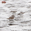 Least Sandpipers and Killdeer <br /> Ellis bay <br /> Riverlands Migratory Bird Sanctuary