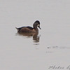 Ring-necked Duck female <br /> Ellis bay <br /> Riverlands Migratory Bird Sanctuary