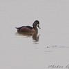 Ring-necked Duck female <br /> Ellis bay <br /> Riverlands Migratory Bird Sanctuary