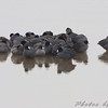 American Coot and Ring-necked Ducks <br /> Ellis bay <br /> Riverlands Migratory Bird Sanctuary