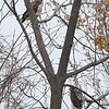 Red-tailed Hawks <br /> Hazelwood