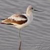 American Avocet <br /> Ellis Bay<br /> Riverlands Migratory Bird Sanctuary