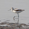 American Avocet <br /> Ellis Bay<br /> Riverlands Migratory Bird Sanctuary