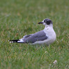 Franklin's Gull <br /> Smithville Lake