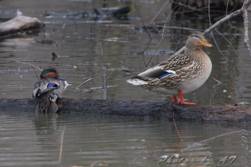 Green-winged Teal and female Mallard <br /> Eagle Bluffs Conservation Area