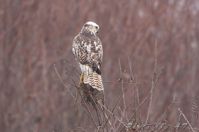 Red-tailed Hawk (Krider's) <br /> Along hwy 70 outside KC